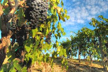 Vendemmia verde - Photo credit: Francesco Sgroi
